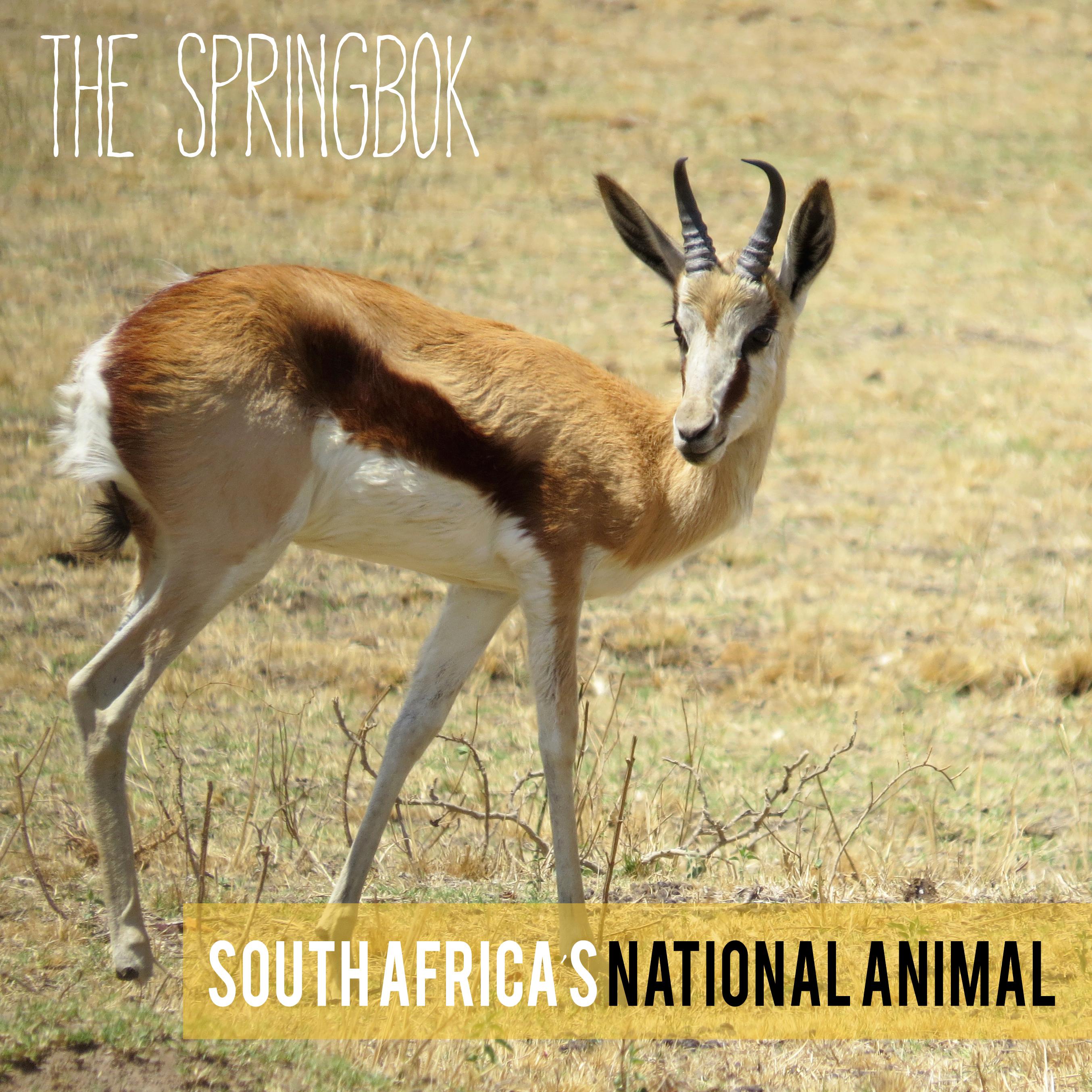springbok copy