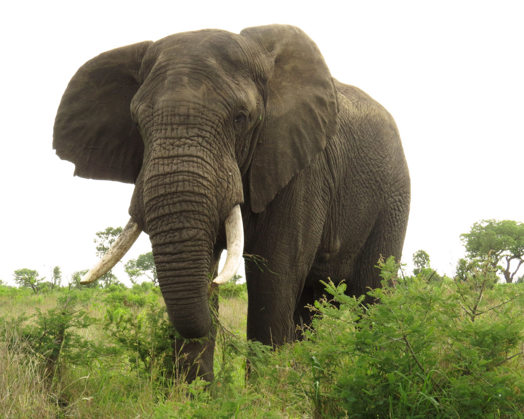 elephantlookingatme
