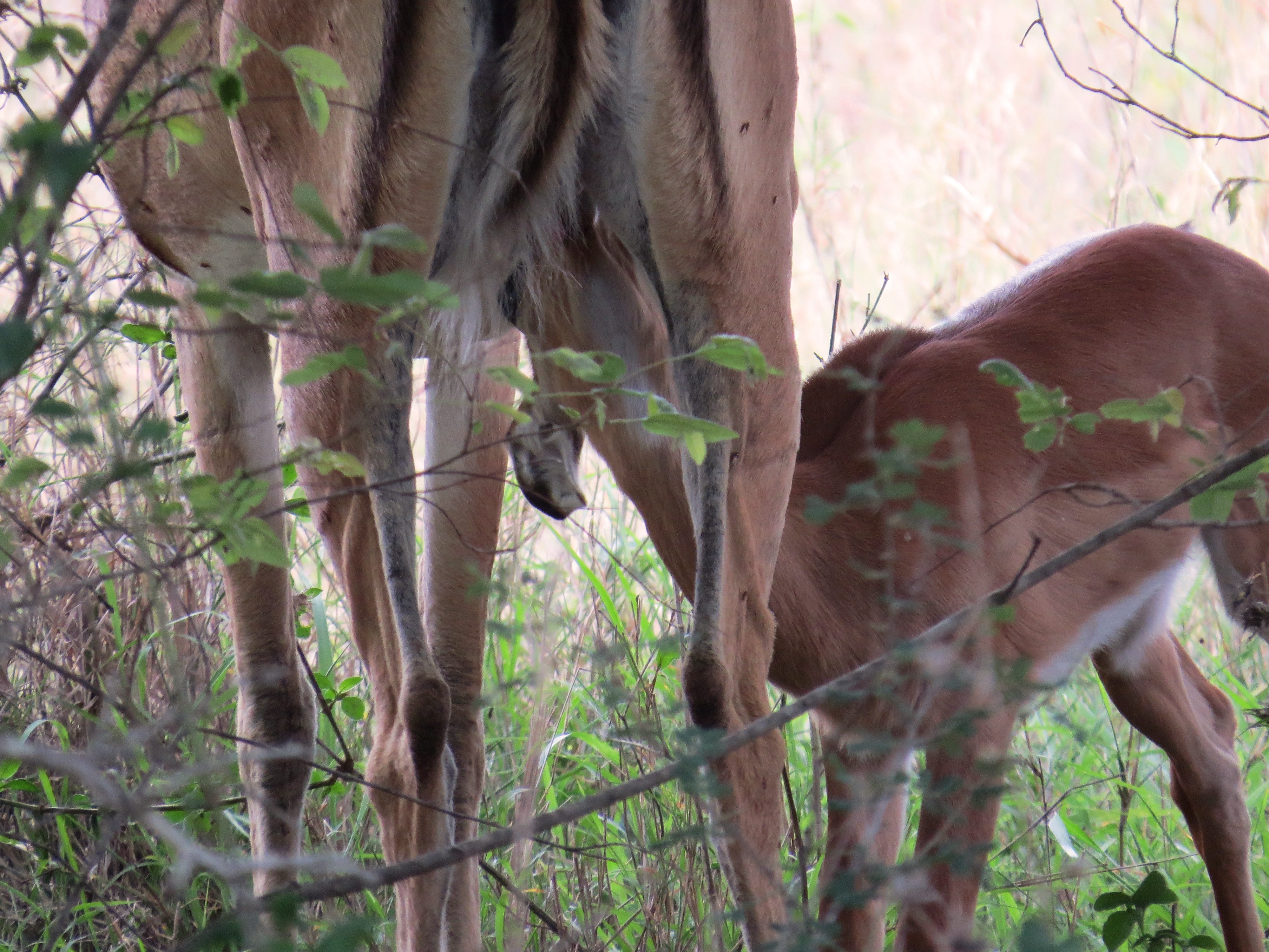 nursing impala